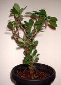 how to grow bougainvillea indoors